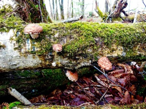 Wild_Shiitake-Mushroom_Japan (1)